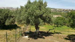 Cabras sicilianas